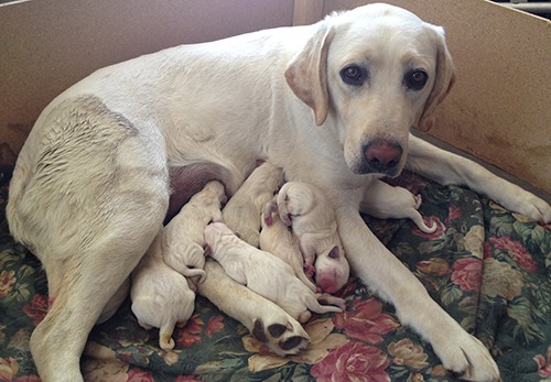 What Is The Best Breeding Age For Labradors Easy