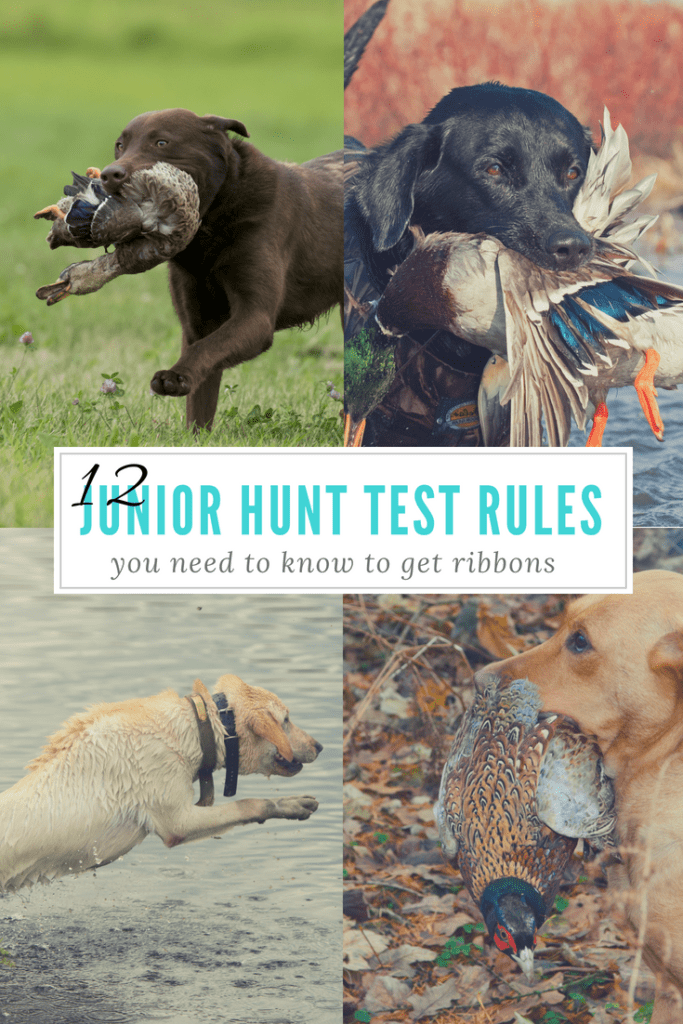 12 Important AKC Junior Hunt Test Rules - Easy Retriever Training