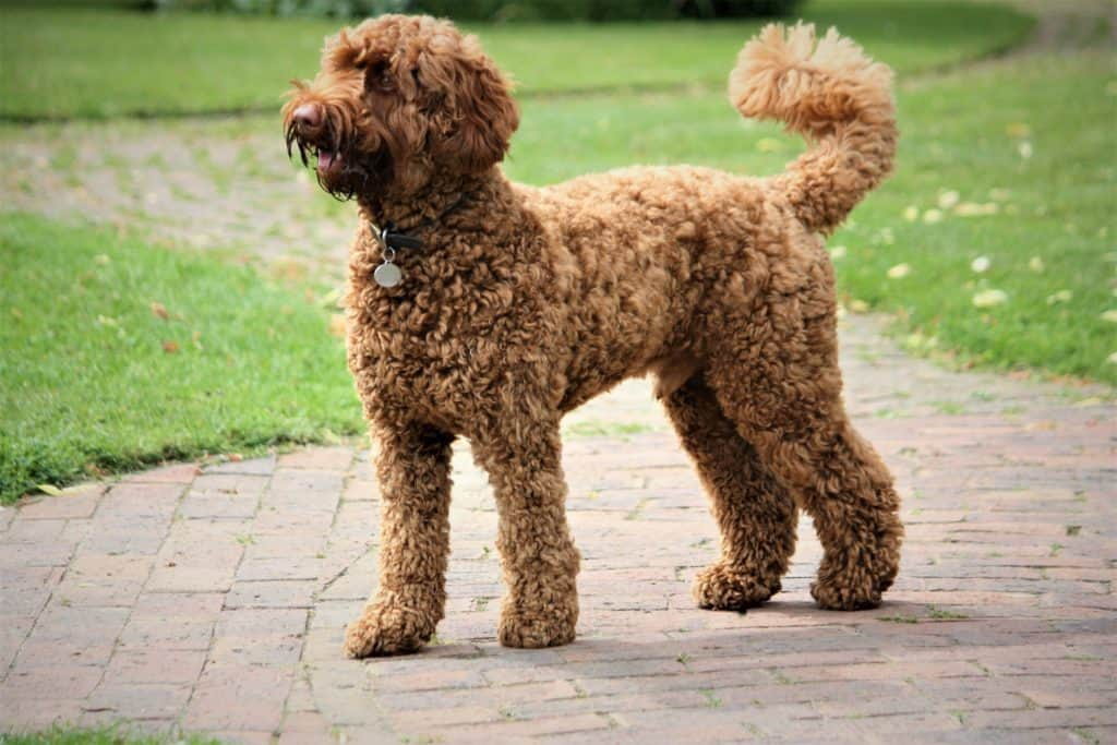 Labradoodle Information Pictures And Tips For The Lab
